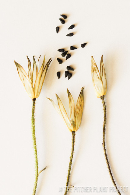 Drosophyllum lusitanium - Flower Pods and Seeds