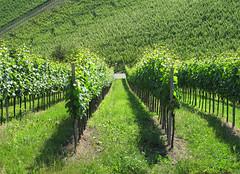 Sun in the Vineyards