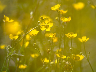 Buttercup Meadow Detail
