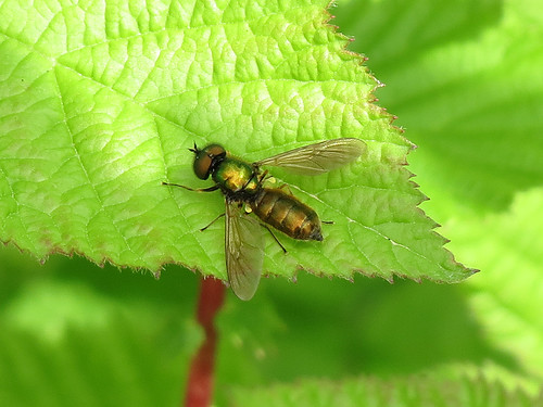 Soldier Fly - Chloromyia formosa