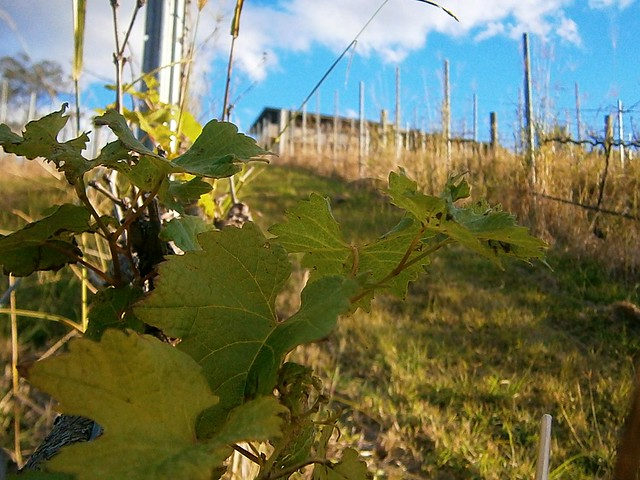 Hillside Vineyard