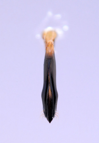 Agrilus tibialis
