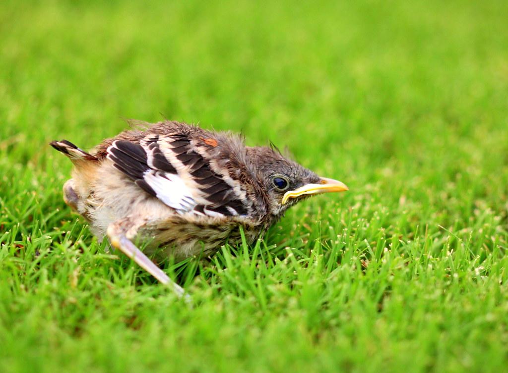 Baby Bird3
