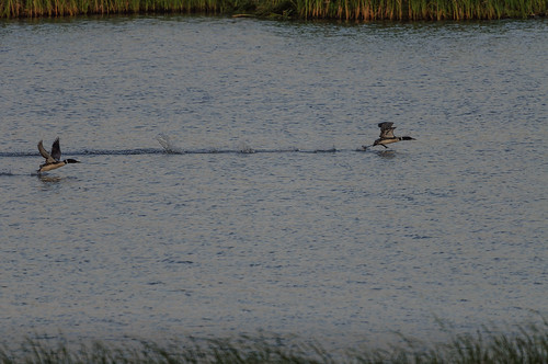 Loon Take Off_9060.jpg