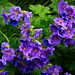 """Geranium x magnificum """"Rosemoor"""" - Sykehusparken"""