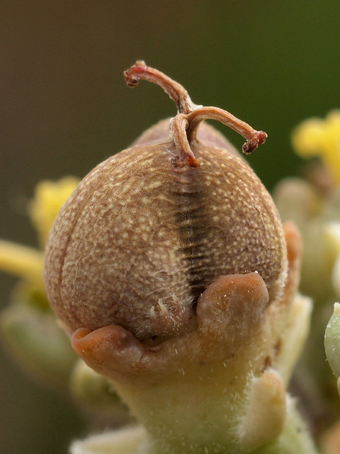 Euphorbia obesa - Frucht
