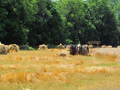 Sheaves of wheat, Howell Living History Farm, Lambertville, New Jersey