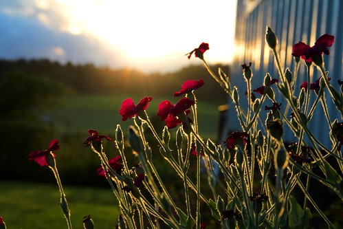 flowers light sunset summer sun sunlight canon sweden againstthelight 100commentgroup canon18135mm kinnahult harpebo peternyhlén mygearandme photoshopelements9