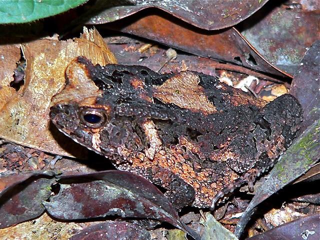 Header of Amietophrynus camerunensis