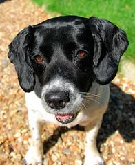 labrador retriever(0.0), puppy(0.0), stabyhoun(0.0), patterdale terrier(0.0), dog breed(1.0), animal(1.0), dog(1.0), pet(1.0), mammal(1.0),
