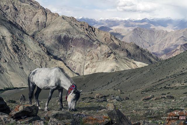 ladakhi_horse