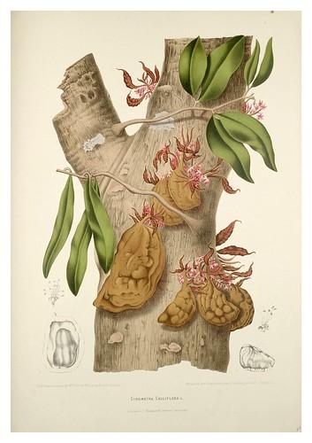 015-Arbol de la fruta Nam-nam-Fleurs, fruits et feuillages choisis de l'ille de Java-1880- Berthe Hoola van Nooten