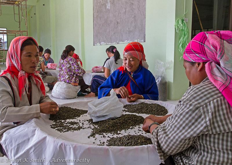 Hilltribe Women Grading Tea, 101 Tea Plantation, Doi Mae Salong