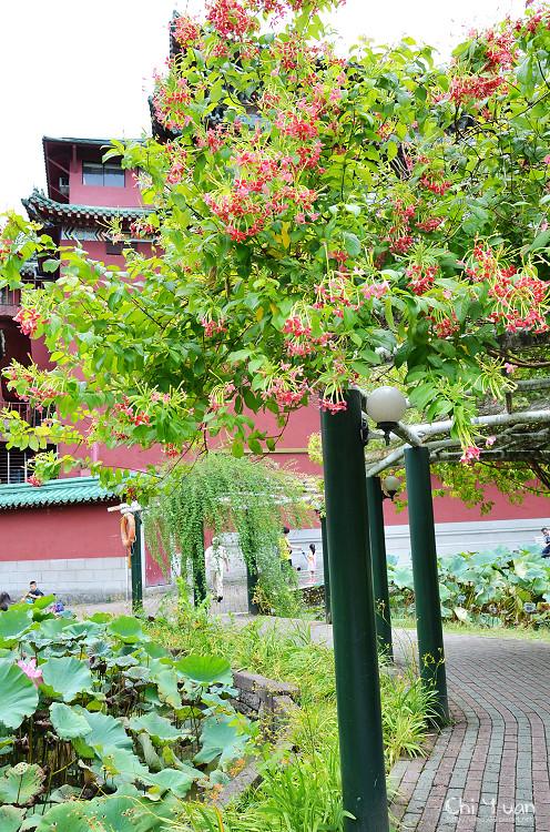 植物園使君子14.jpg