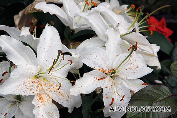 Gardens by the bay flower dome alvinology pretty white flowers with sprinkles of orange mightylinksfo