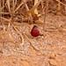 Coryphospingus cucullatus - Photo (c) Bernard DUPONT, algunos derechos reservados (CC BY-SA)