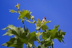 Pintassilgos (European Goldfinch - Carduelis carduelis)