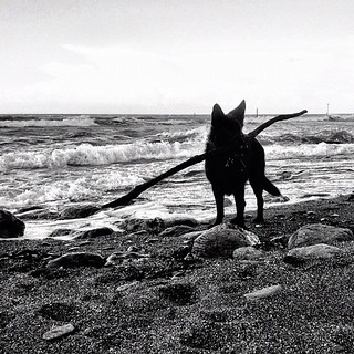 Miss Charley finding a little stick on the beach at Lynmouth on our 1st day of the holiday.