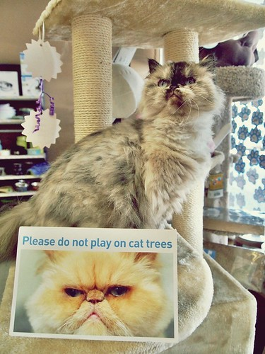 Please do not play on cat trees