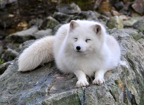 Polar fox by Arctic Wolf Pictures