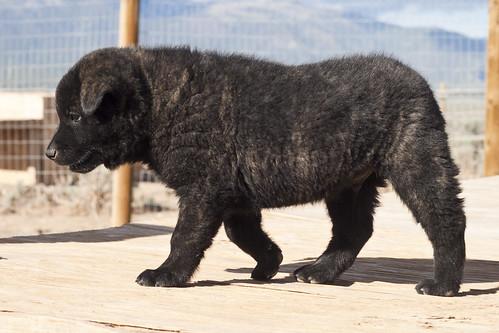 Ayu-Litter1-Day47-Puppy4-Male(Monk)-c