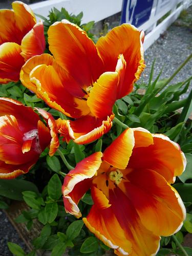 Whidbey Island tulips