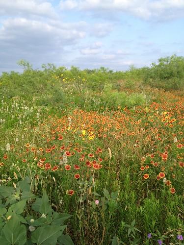 flowers landscape texas bees bee fe beekeeping beekeepers gbr apiary apiarist beekeeper fentress texasbees gretchenbeeranch texasbeekeeping