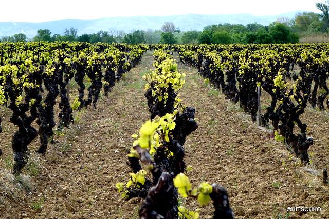 les vins AOC du Minervois