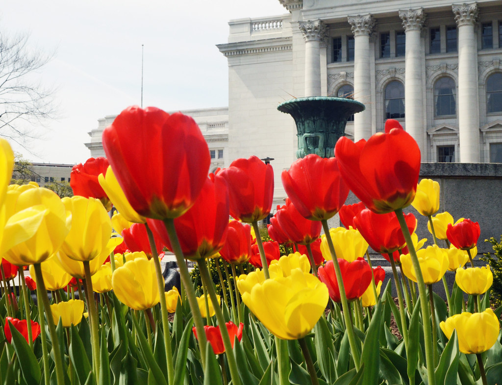 Tulips and the Capitol