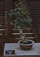 Bonsai-Quercus Suber-Jardi Botanic de BCN 27