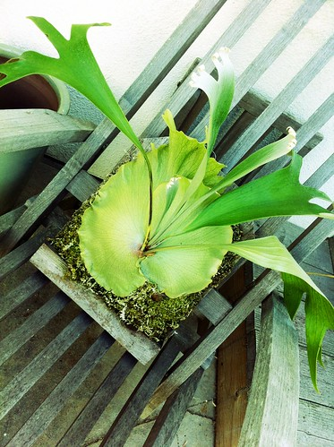 Life: Our New Staghorn Fern! by Sanctuary-Studio
