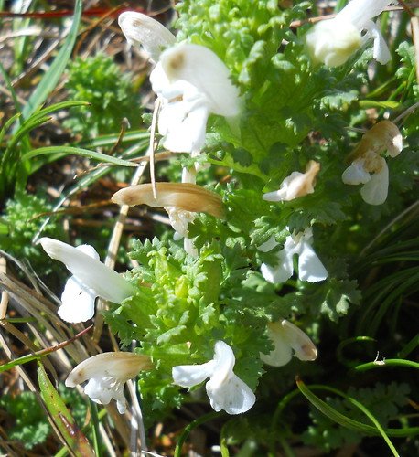 White Lousewort (Pedicularis sp.)
