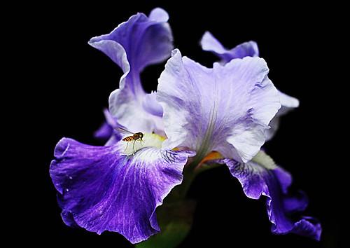 Visitor  (Iris) by T.takako