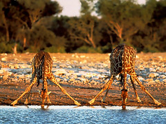 animal, nature, giraffe, fauna, wilderness, giraffidae, savanna, safari, wildlife,