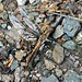 Small photo of Chalk-Fronted Corporal (Ladona julia)