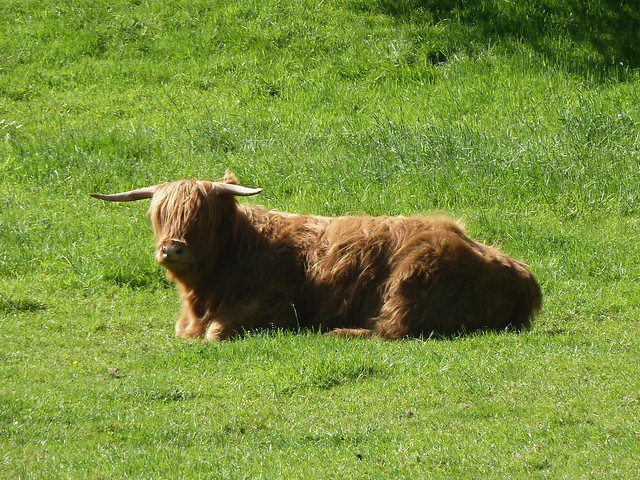 Highland Cow, Glamis Castle