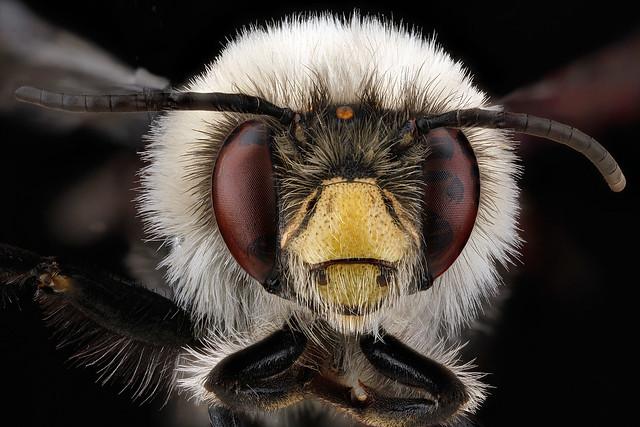 Anthophora-bomboides,-unkown,-face_2012-06-12-14.46.36-ZS-PMax