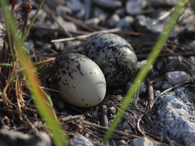 Common Nighthawk eggs macro SOOC 20120614