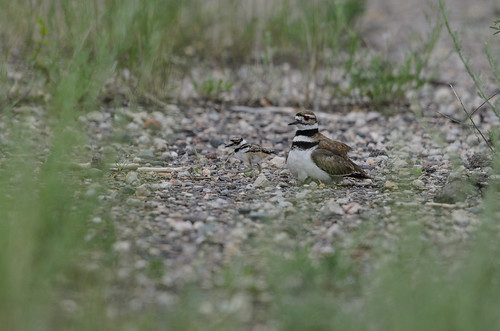 Killdeer and baby_4265.jpg