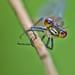 Petite nymphe au corps de feu - pyrrhosoma nymphula by didin21