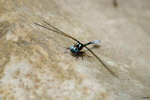 blue méxico insect dragonfly libélula hidalgo entomology