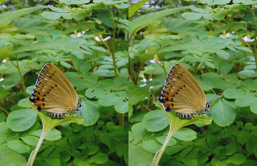 Ussuriana stygiana, stereo parallel view