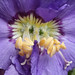 """Double"" Polemonium flower"
