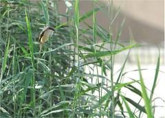 Long-tailed Shrike 3