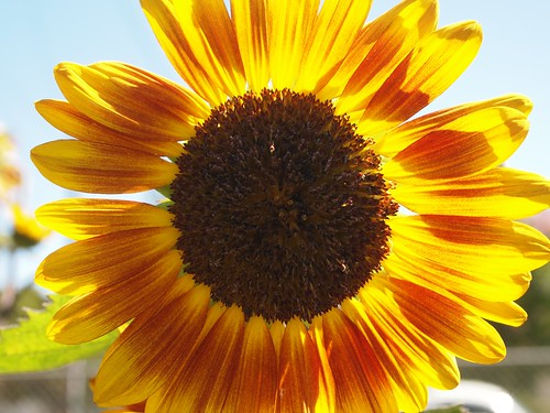Sunflower in Altadena Community Garden