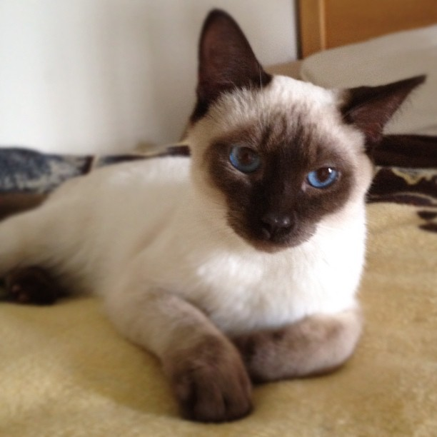 Meet Louie. He will Never Replace Sam But this Little Guy Has Brightened My Day. #cat #siamese #kitten