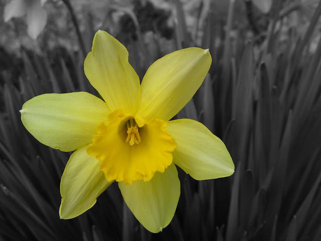 Groc de Primavera