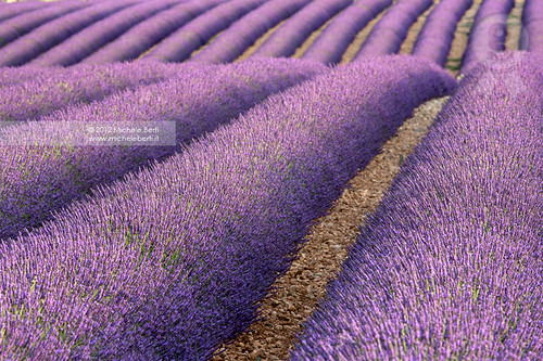 The lavender field (June 2012) ~ Explored ~
