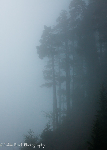 Fog and Conifers, Olympic National Park