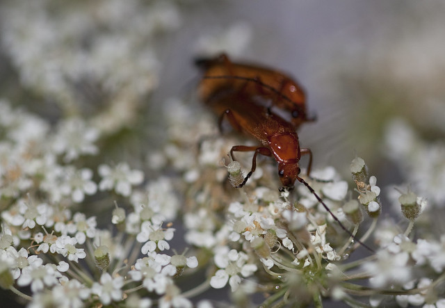 qal red bugs mating